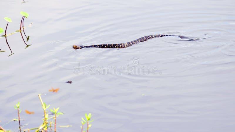 Wodna kierpec w bagnach, Południowy Floryda obraz stock