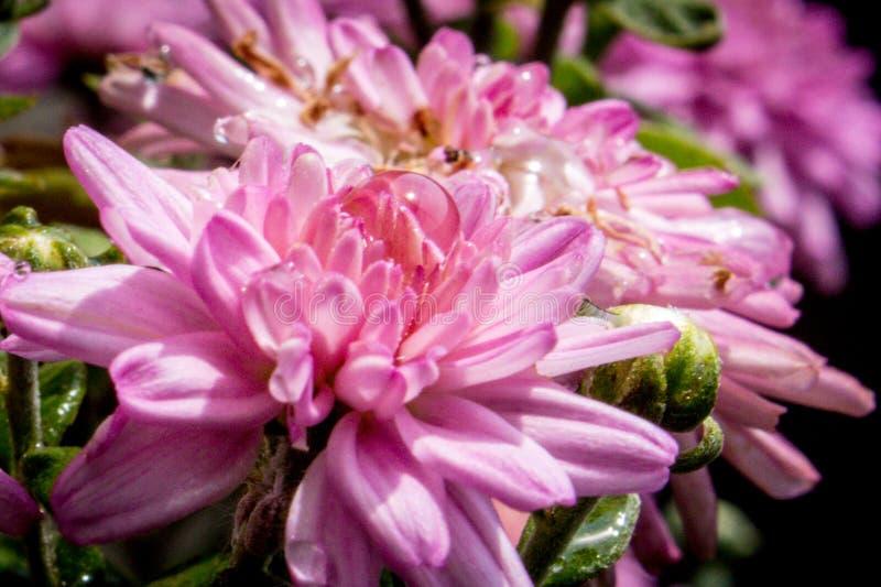 Wodna kropelka na purpurowym asteru kwiacie obraz royalty free