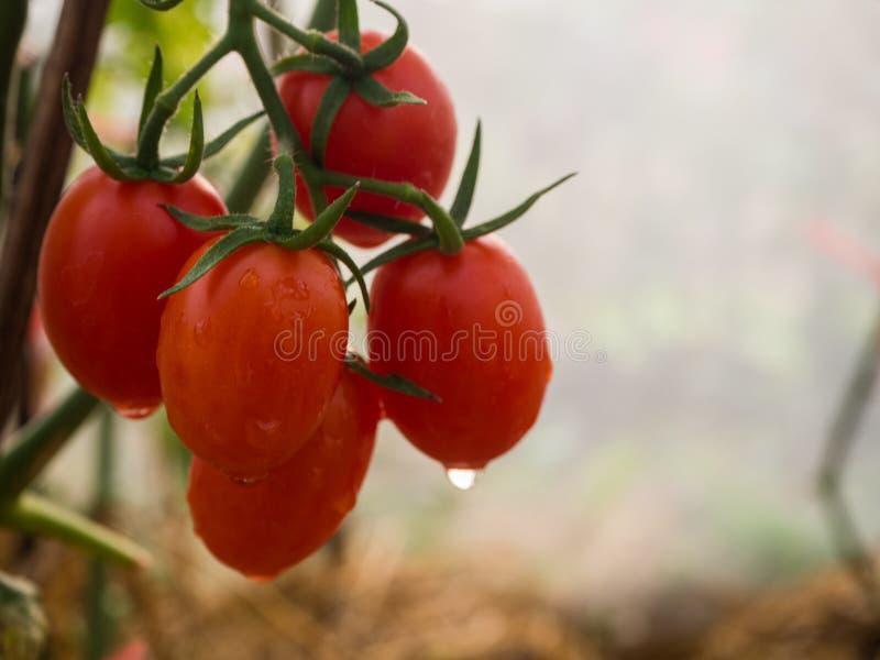 Wodna kropla na czerwonym czereśniowym pomidorze fotografia stock