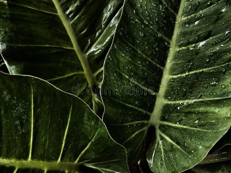 Wodna kropla na dużej zieleni opuszcza, ciemnozielony urlopu tło fotografia stock
