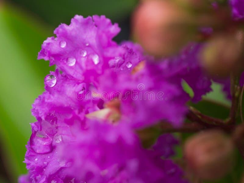Wodna kropla na Purpurowym Crape mirtu kwiacie obrazy stock