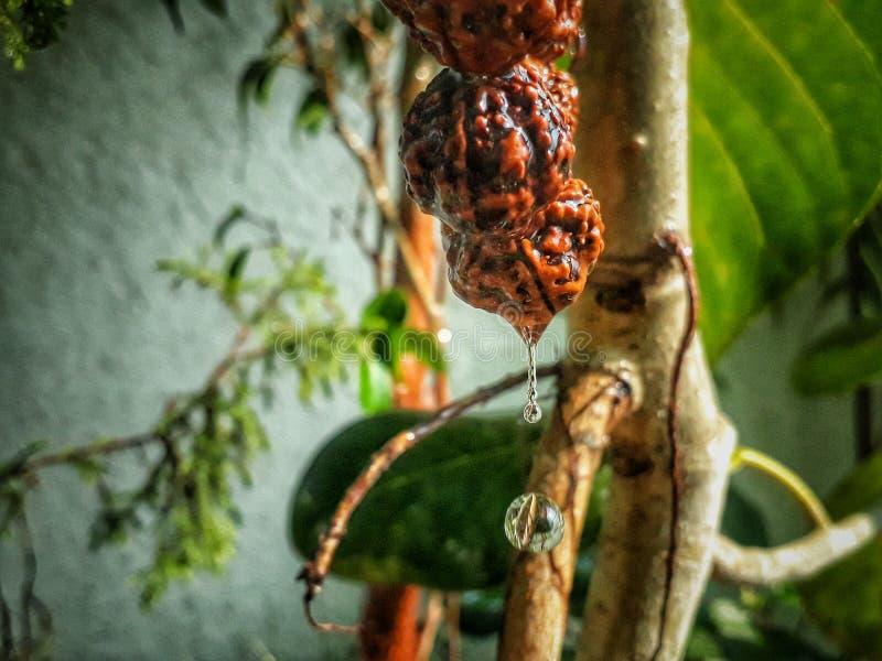 Wodna kropla od rośliny obraz royalty free