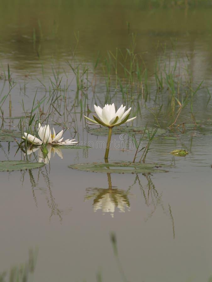 Wodna leluja, grzybienia fotografia stock