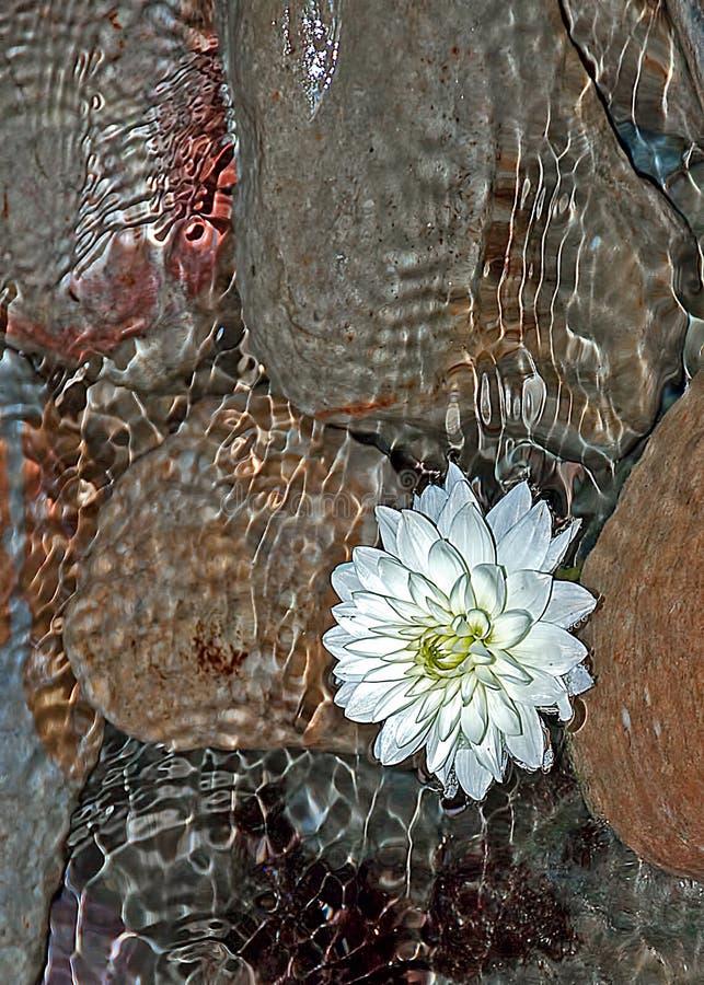 Wodna leluja i kamienie zdjęcie stock