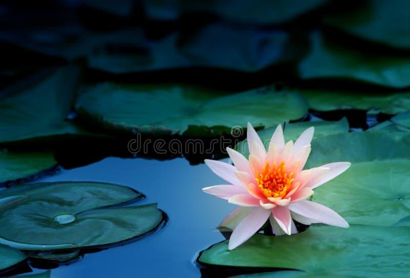 Wodna leluja i liść, w górę fotografia royalty free