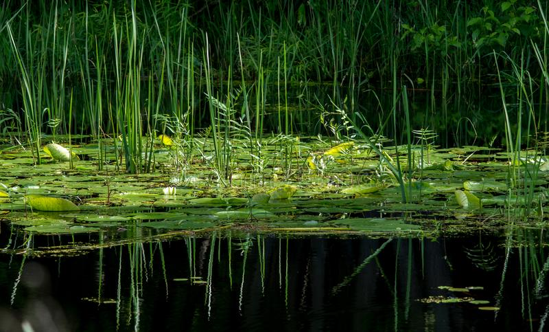Wodna leluja i płochy z odbiciami zdjęcia royalty free