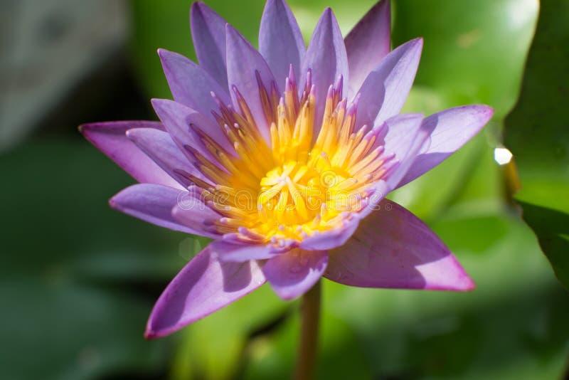 Wodna leluja lub grzybienia zdjęcie royalty free