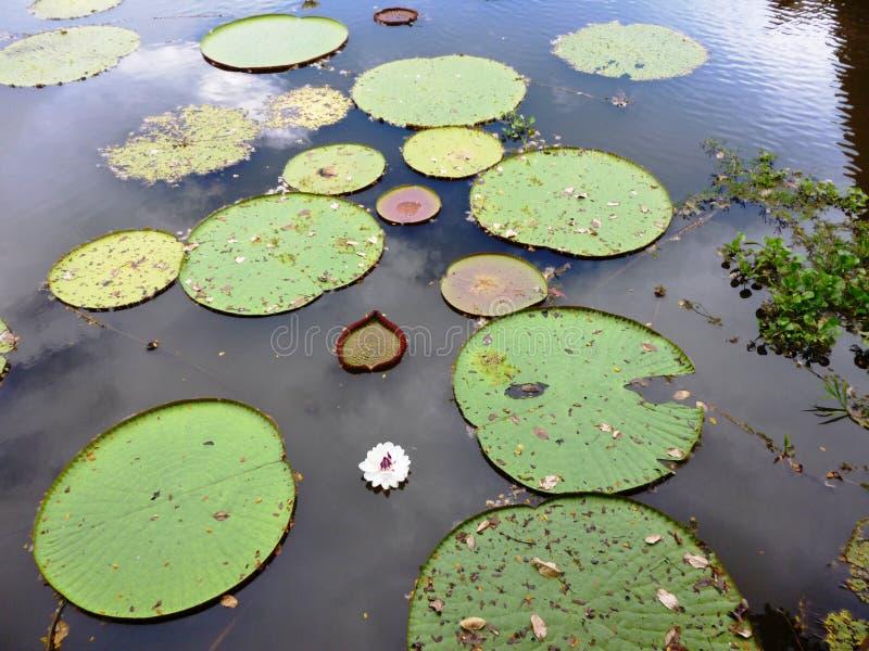 Wodna leluja na amazonki rzece zdjęcie stock