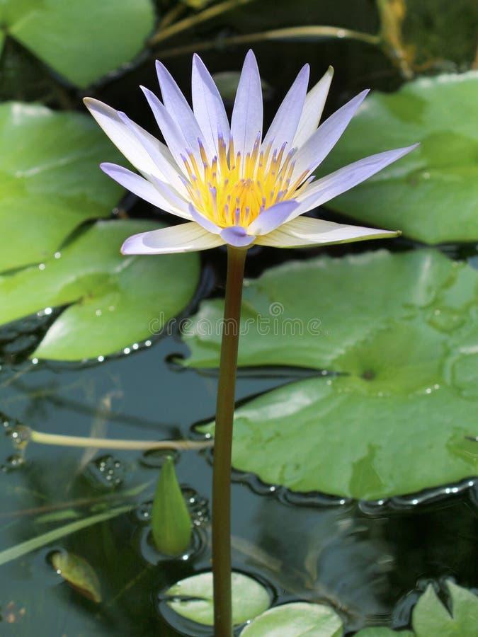 Wodna leluja w jeziorze w górę widoku zdjęcie royalty free