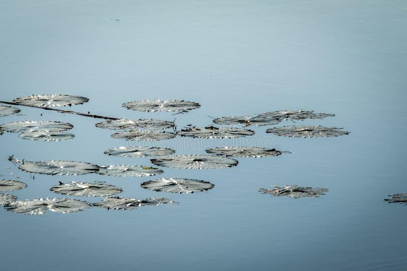 Wodna leluja w wodzie w Kruger fotografia stock