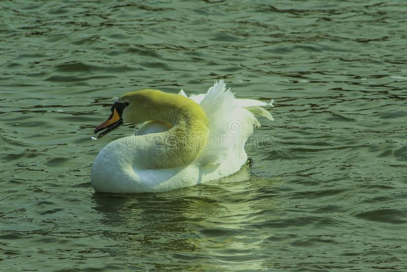 Wodna ptactwa I wody kropla zdjęcie royalty free