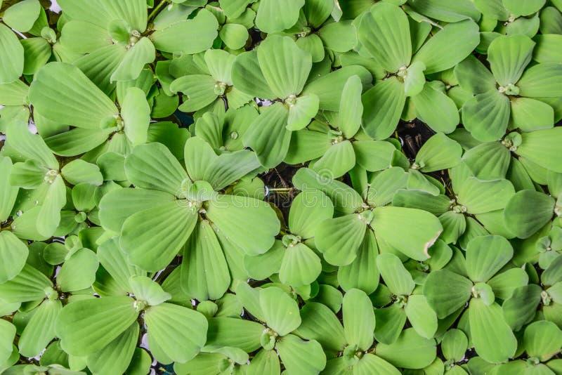 Wodna sałata - Tajlandzki nazwany &-x22; Dok Jok&-x22; jest mała wodna świrzepa Żyje wpólnie gdy grupa unosi się na wodnej powier obrazy stock