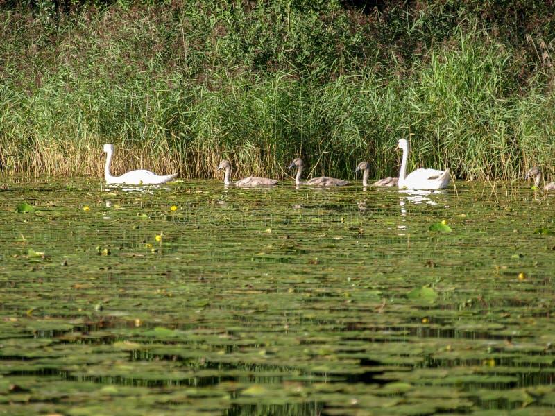 Wodna trawa przerastająca jeziorem, niektóre łabędź zdjęcie stock
