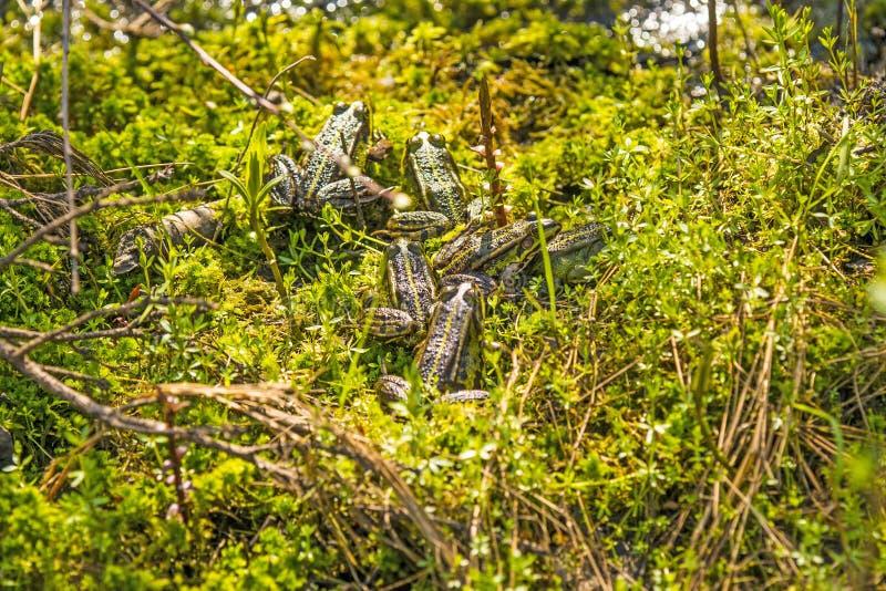 Wodne żaby bierze słońca skąpanie fotografia royalty free