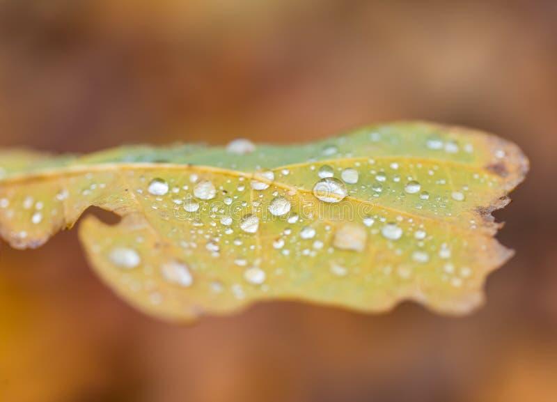 Wodne kropelki kłama na jesiennym spadać liściu obrazy stock