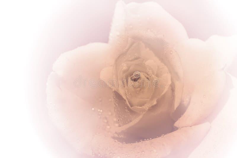 Wodne kropelki na menchii róży obraz royalty free