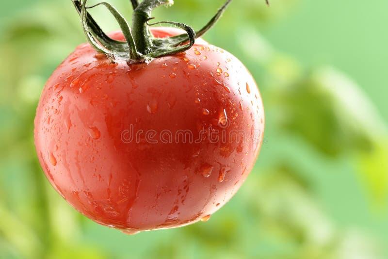 Wodne kropelki na Pomidorowej roślinie fotografia stock