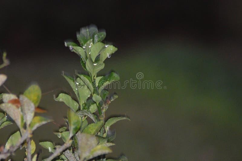 Wodne kropelki widoczne na zielonych liściach fotografia stock