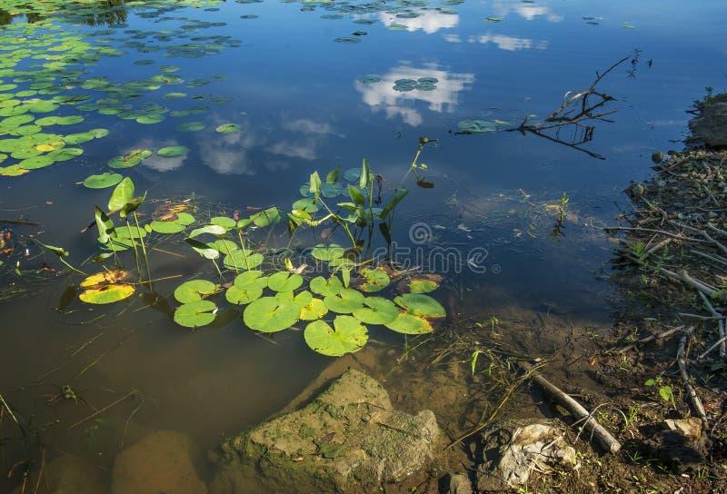 Wodne leluje na Des Milles Iles rzece zdjęcie royalty free