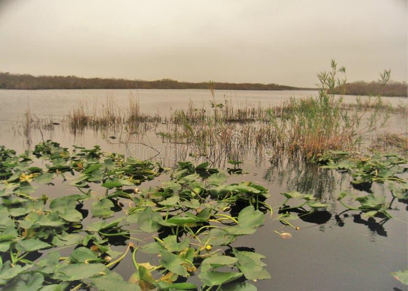 Wodne leluje na powierzchni Jeziorny Waszyngton obraz stock