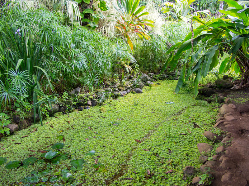 Wodne leluje przy Wodnymi ogródami Vaipahi, Tahiti, Francuski Polynesia fotografia royalty free