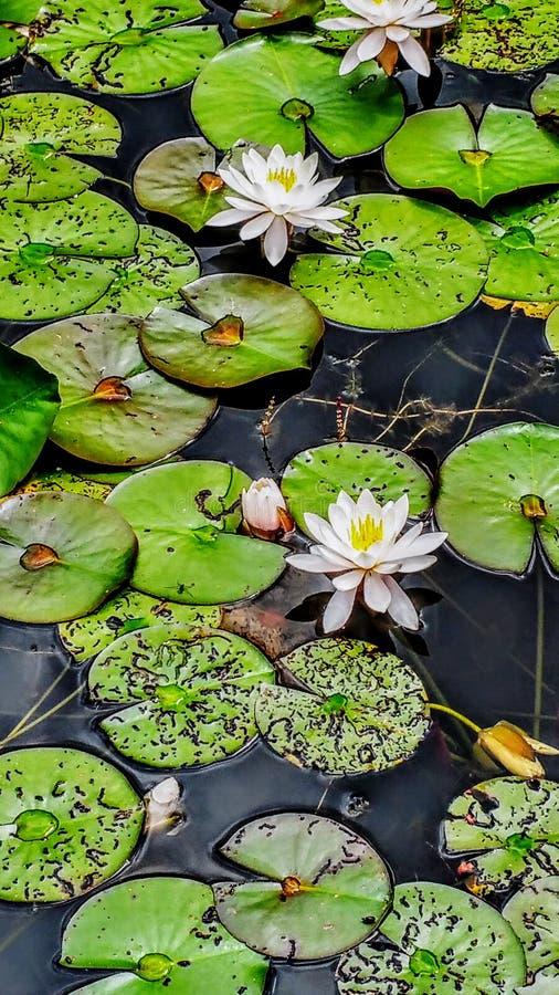 Wodne leluje w wodzie zdjęcie royalty free