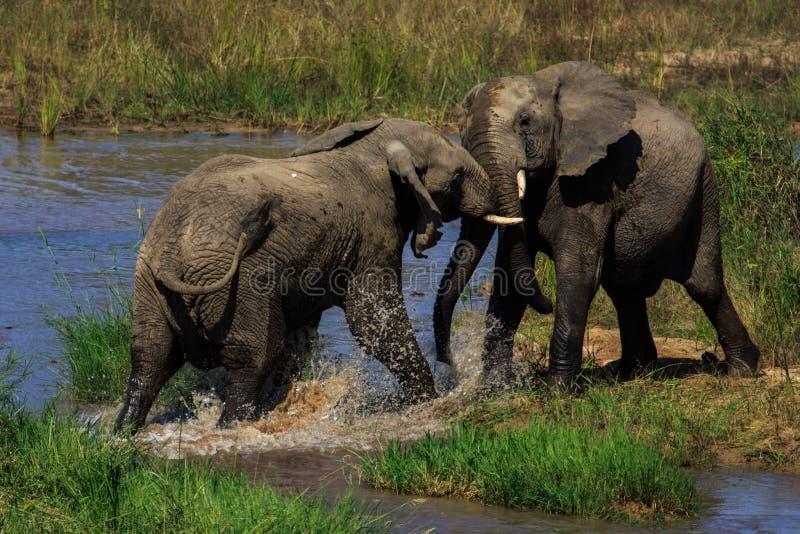 Wodne prawicy: Słonie zwalczają zdjęcie royalty free