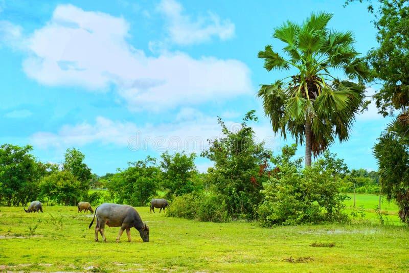 Wodnego bizonu łasowania i pozyci trawa i widok ryż pola dla wsi uczucia zdjęcie royalty free