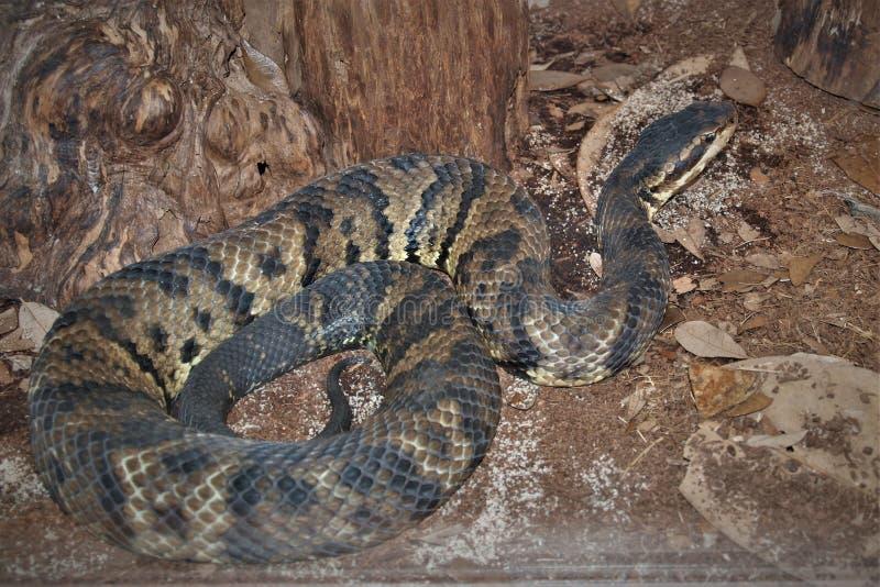 Wodnej kierpec Agkistrodon piscivorus wąż zdjęcie royalty free