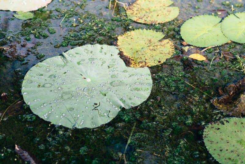 Wodnej lelui i lotosu liście unosi się na stawie fotografia royalty free