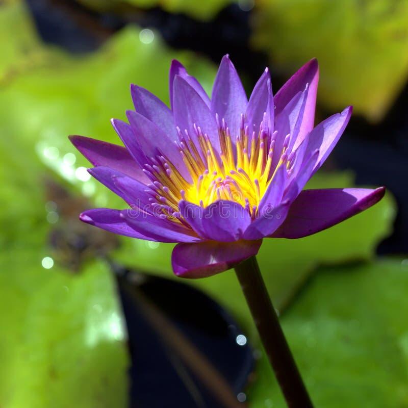 Wodnej lelui kwiatu grzybień Kwadratowy format obraz royalty free