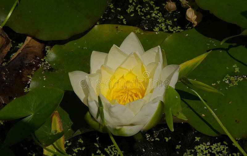 Wodnej lelui nymphaeaceae fotografia royalty free