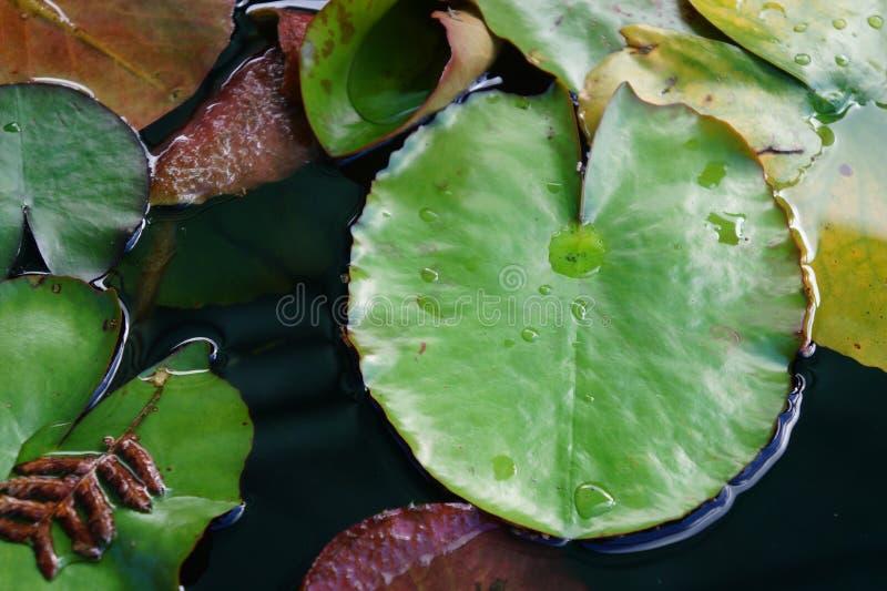 Wodnej lelui wody Lilly grzybienia w stawie po wiosna deszczu zdjęcie royalty free