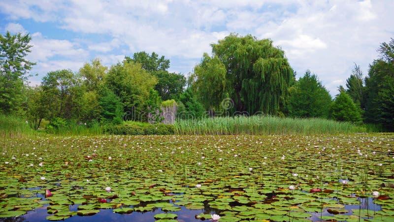 Wodni lillies w jeziorze Montreal, Kanada fotografia royalty free