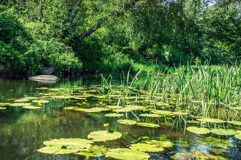 Wodni lilys liście w rzece obraz royalty free