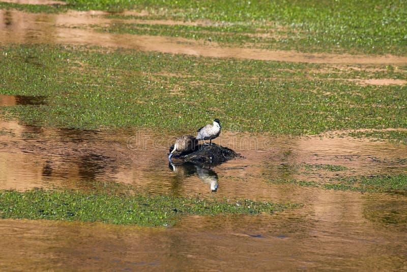Wodni ptaki w Rio Putana dolinie w średniogórzach Atacama pustynia, Chile zdjęcia royalty free