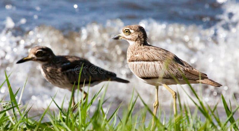Wodni thicknees przy jeziornym brzeg fotografia royalty free