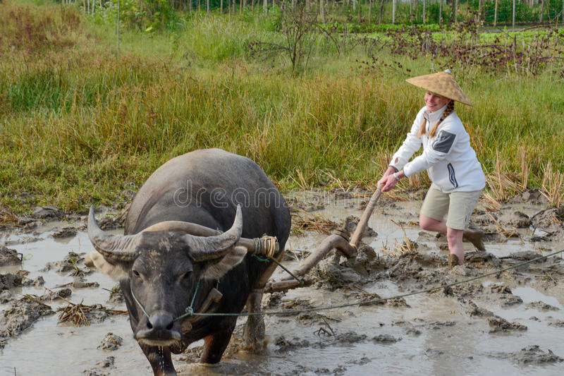 Wodny bizon i kobieta w ryżu polu w Laos fotografia royalty free