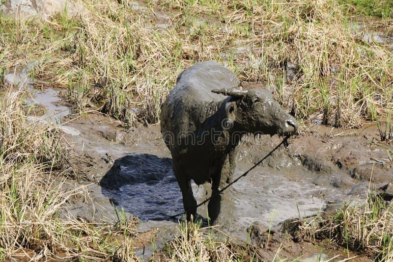 Wodny bizon w ryżowych polach zdjęcia stock