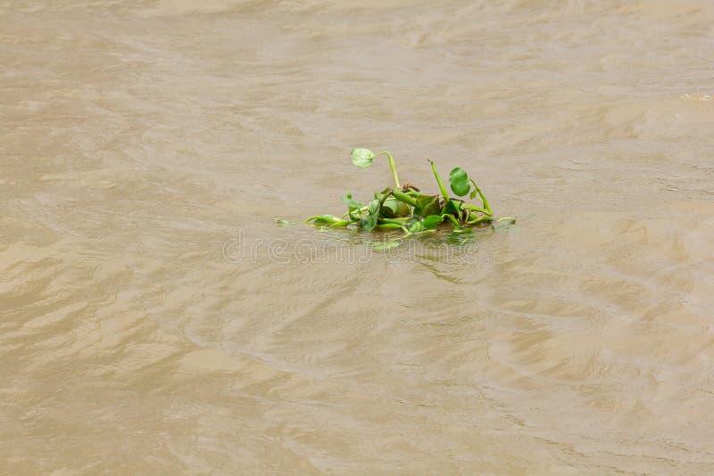 Wodny hiacynt unosi si? w rzece fotografia stock