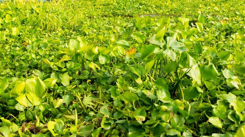 Wodny hiacynt w rzece, eichhornia crassipes fotografia stock