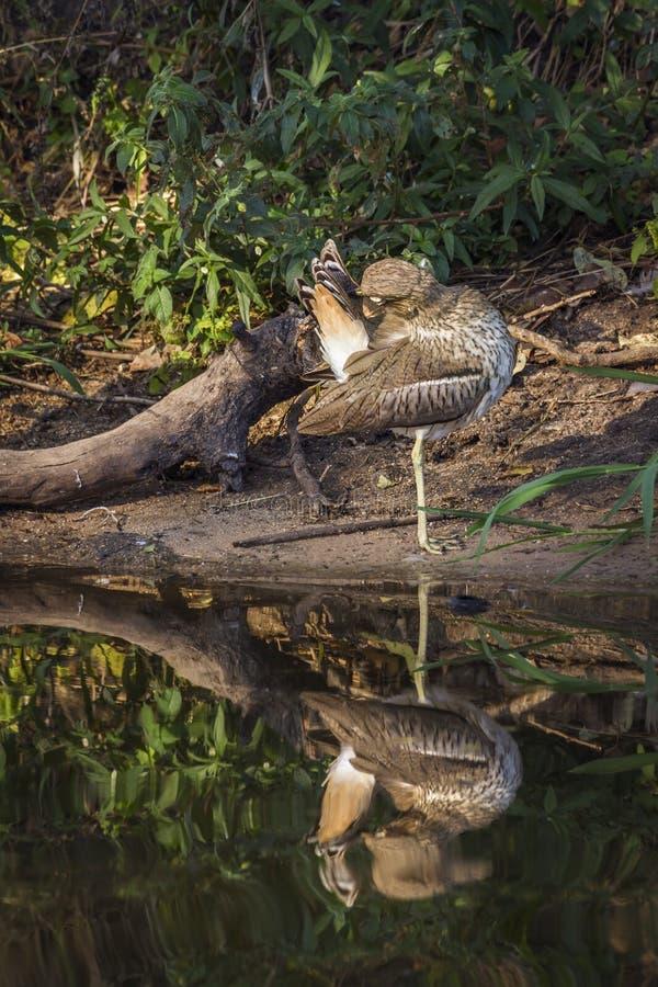 Wodny kolano w Kruger parku narodowym, Południowa Afryka obrazy stock