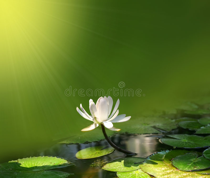 Download Wodny leluja biel zdjęcie stock. Obraz złożonej z sezon - 8489858