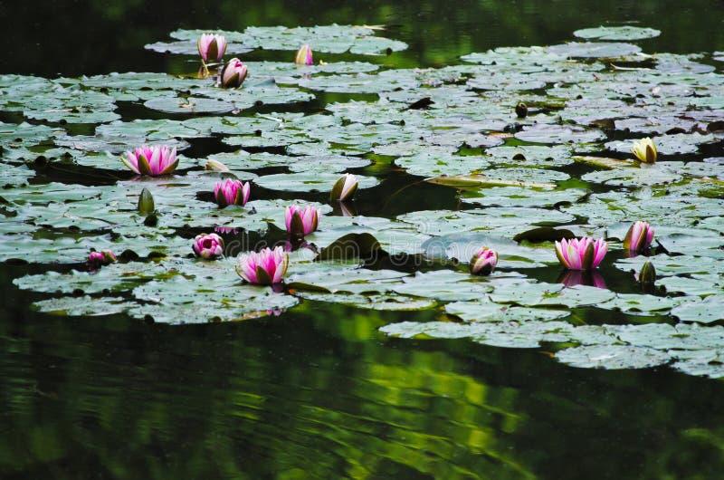 Wodny Lillies Monet ogród zdjęcie stock