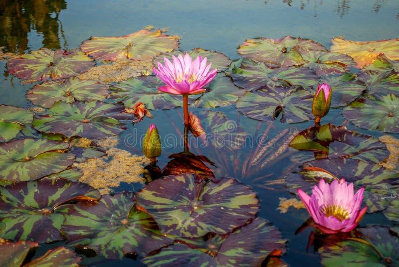 Wodny Lilly w kwiacie zdjęcie royalty free