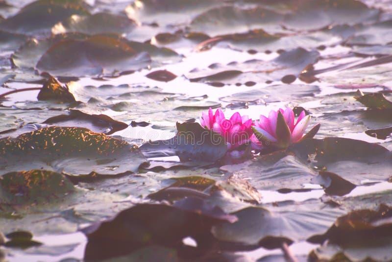 Wodny Lilly W Mglistym jesień ranku zdjęcie stock