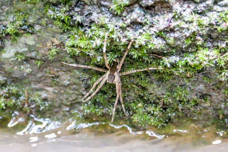 Wodny pająk obrazy royalty free
