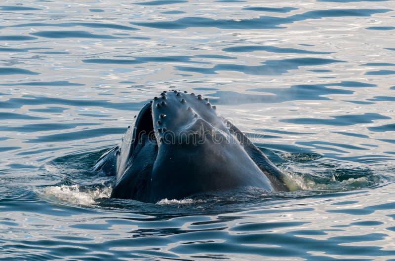 Wodny rozlewać od otwartego usta żywieniowy dorosły Humpback wieloryb, Antarktyczny półwysep zdjęcia royalty free