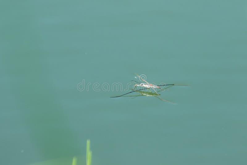 Wodny Striders jest insektem z 6 nogami zdjęcia stock