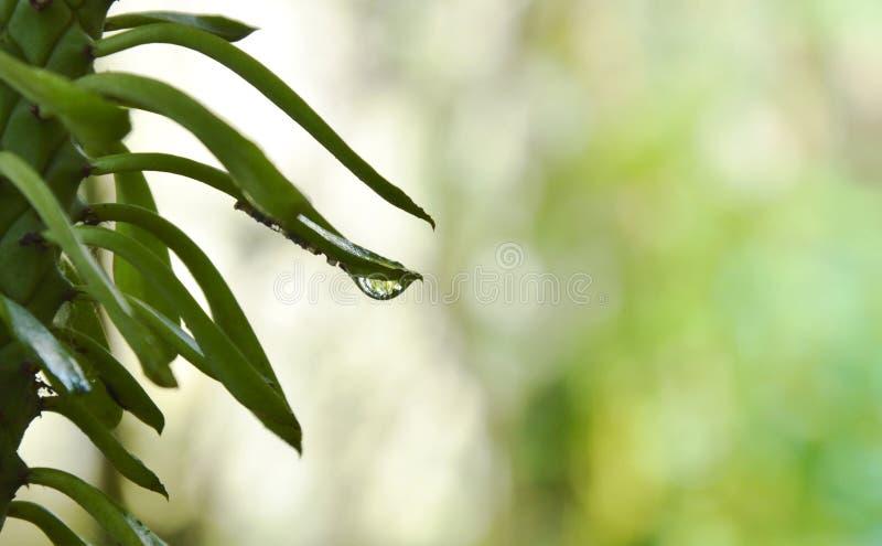 Wodny zrzut na redbird kaktusa krzywy liściu w ogródzie fotografia royalty free